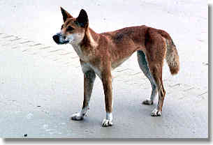 Wild dingoes are common on the island